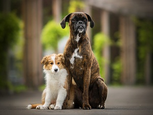 boxer, Puppy, Dogs, Border Collie