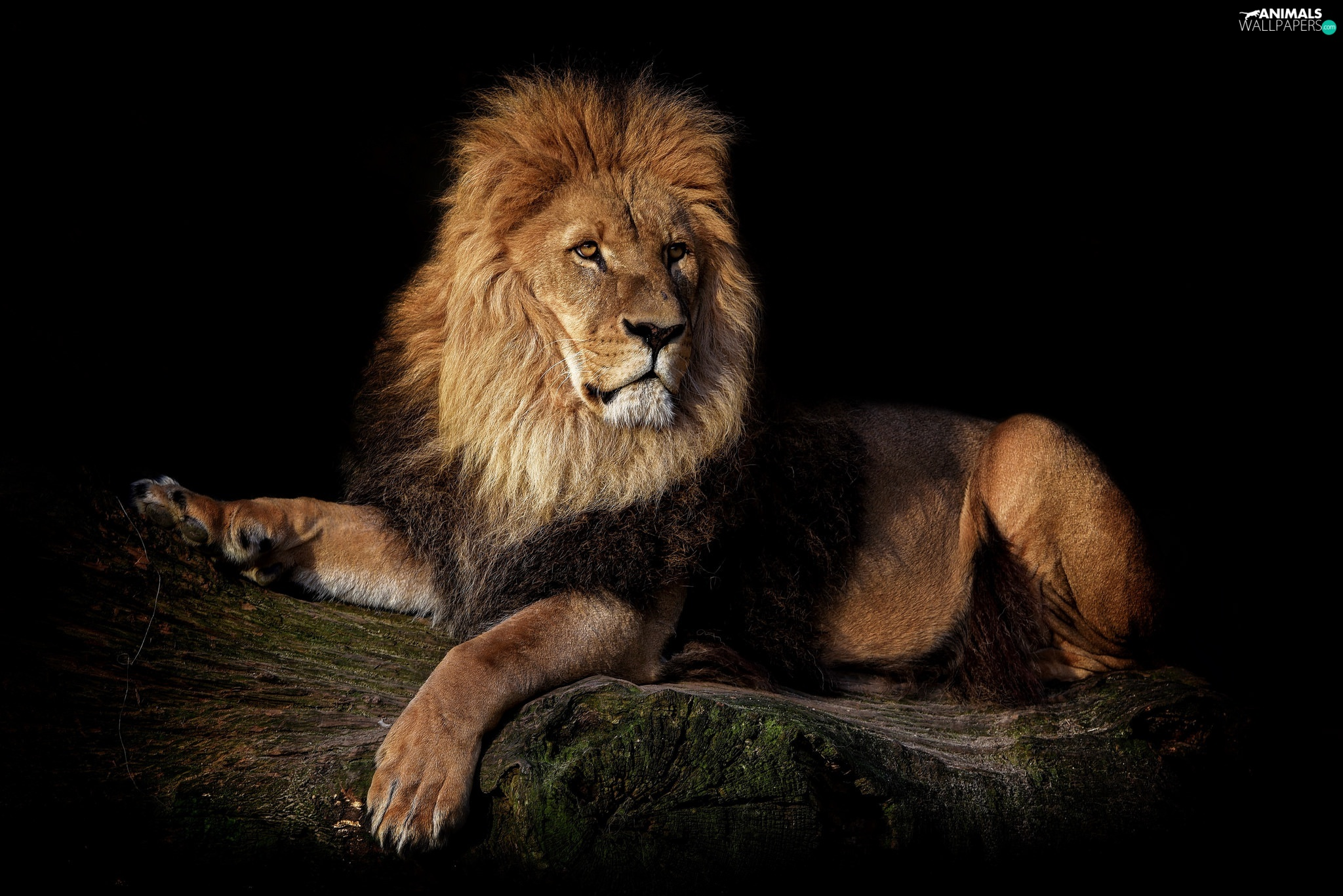 Lion, dark, background, log