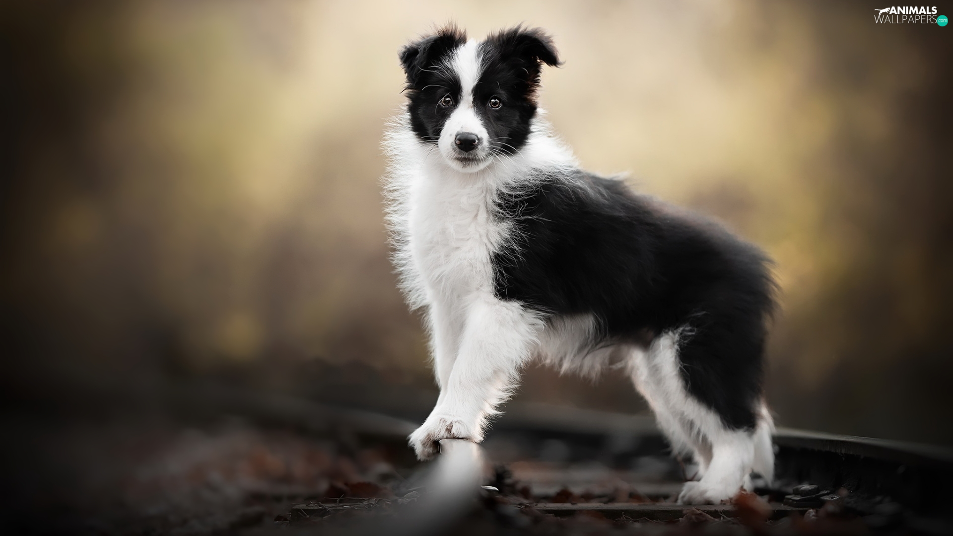 dog, White and Black, Border Collie, Puppy