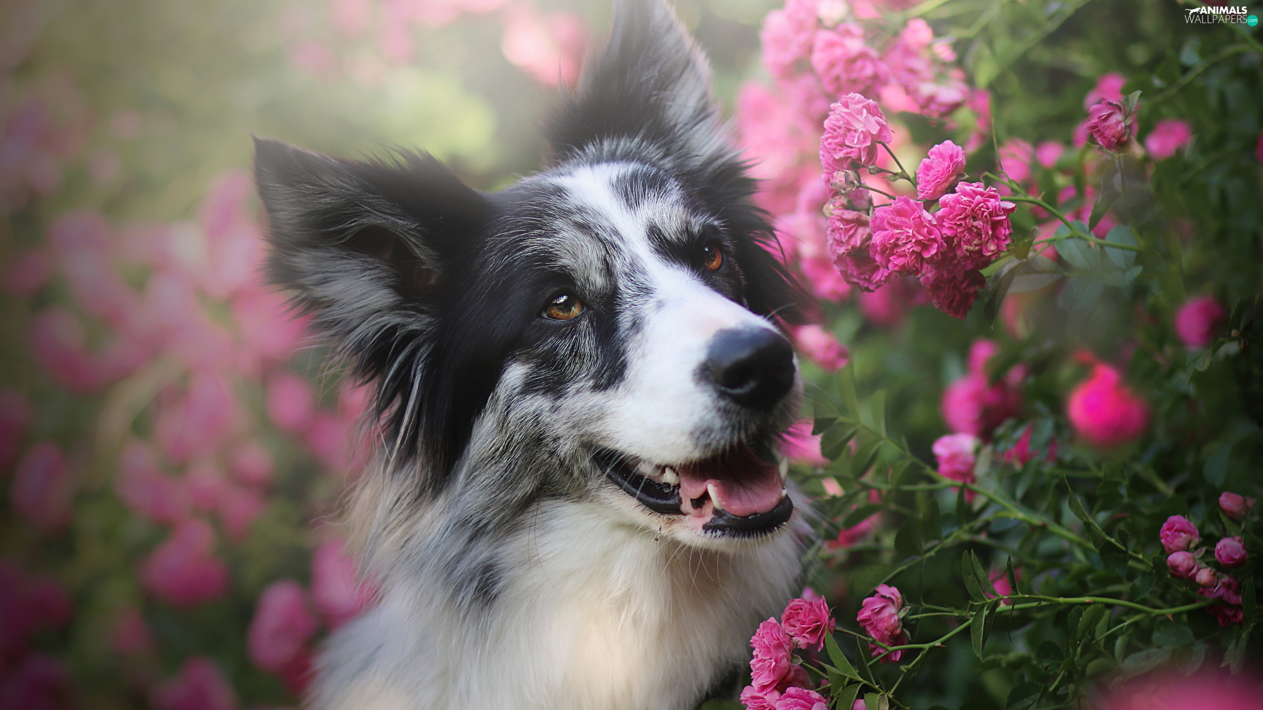 Flowers, roses, Border Collie, Pink, dog