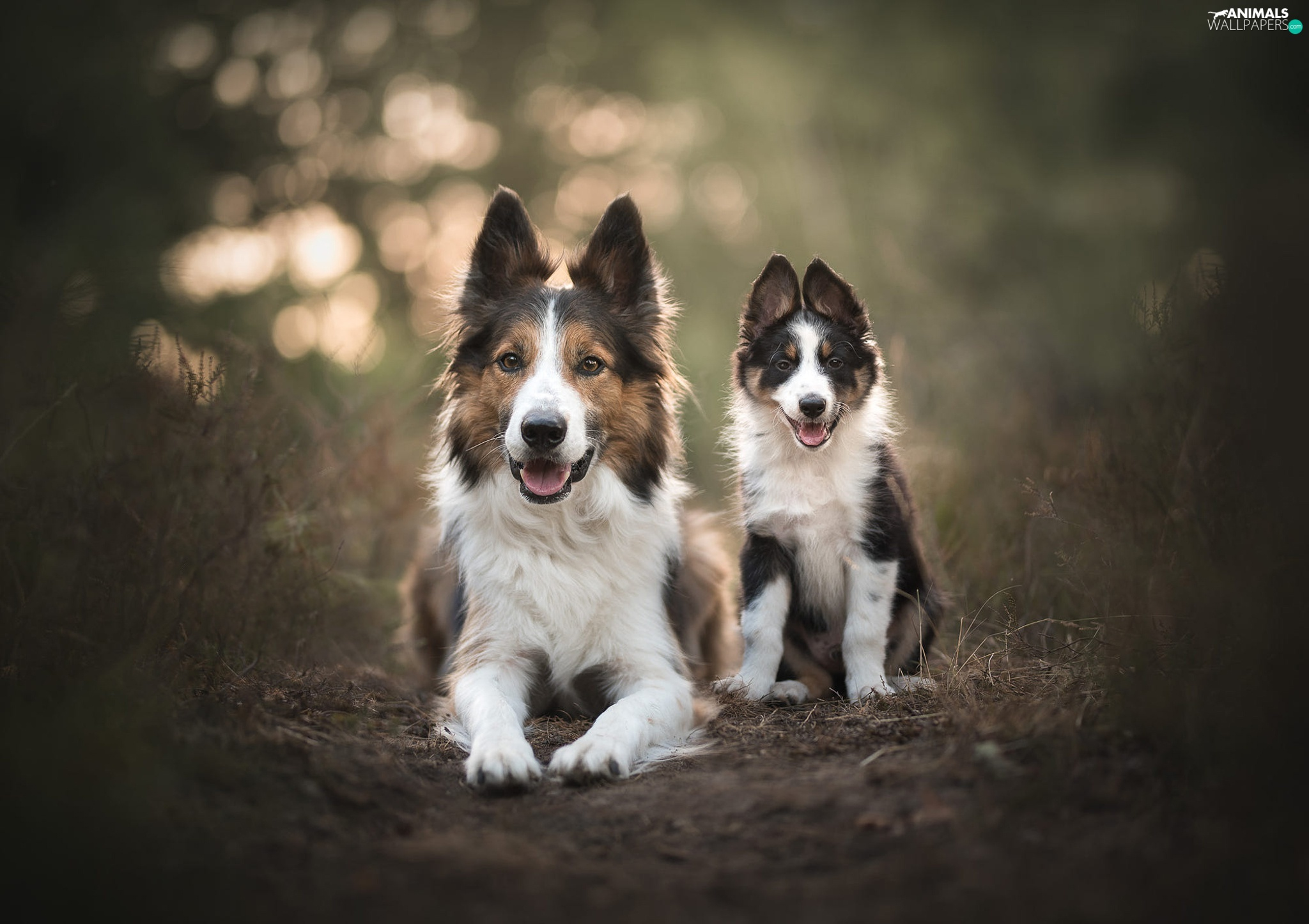 Two cars, Border Collie, Puppy, Dogs
