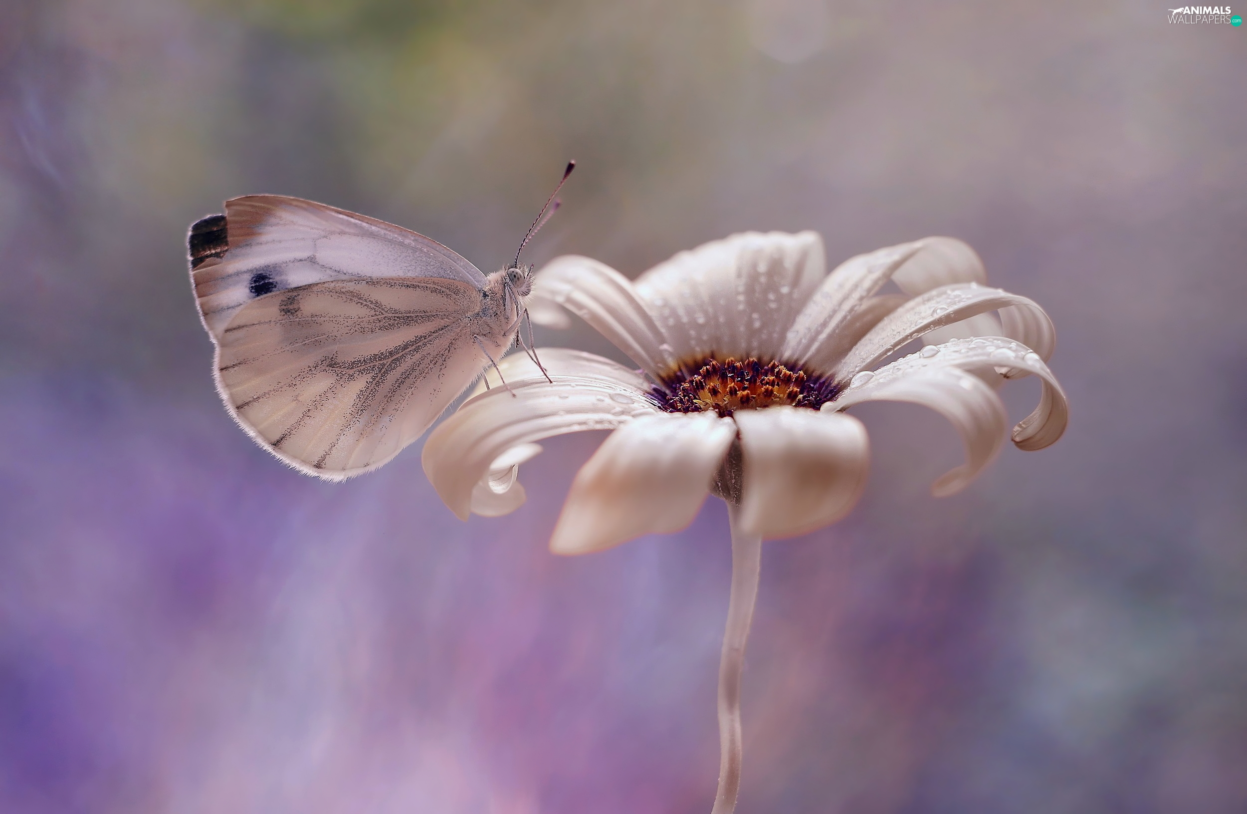 White, Cabbage Butterfly, Colourfull Flowers, butterfly