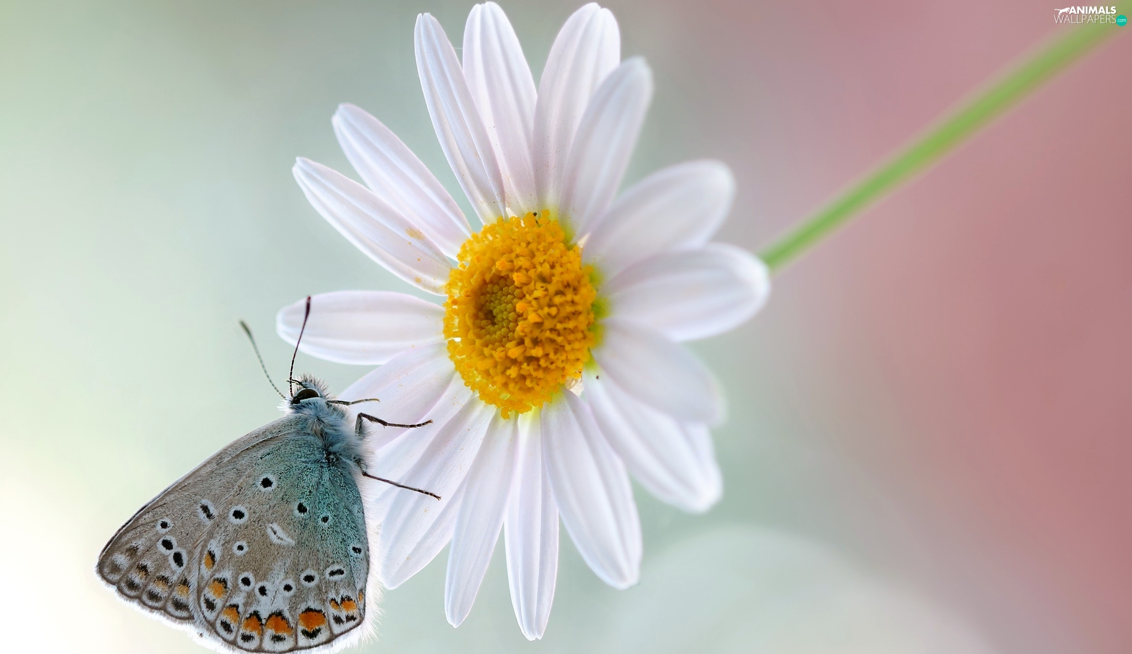 Daisy, Close, Dusky, Colourfull Flowers, butterfly