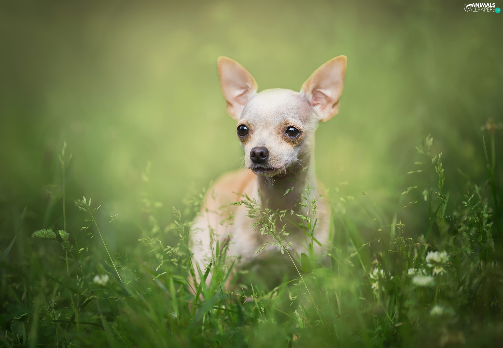 grass, dog, Short-haired Chihuahua