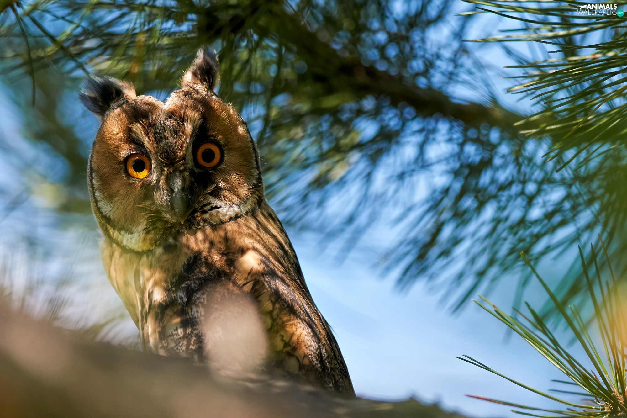 Twigs, pine, owl, eagle-owl, Bird