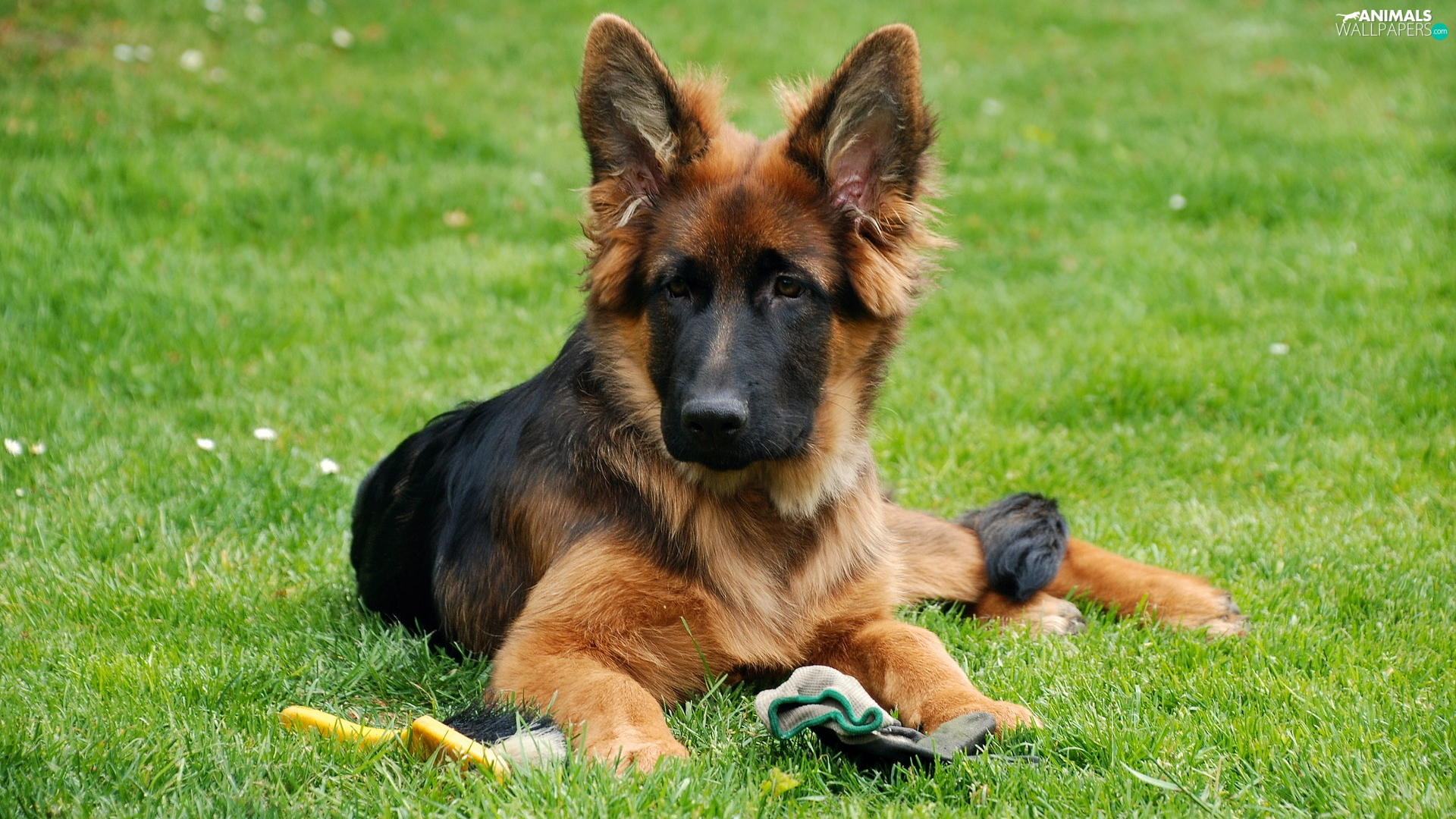 dog, German Shepherd, grass, Puppy