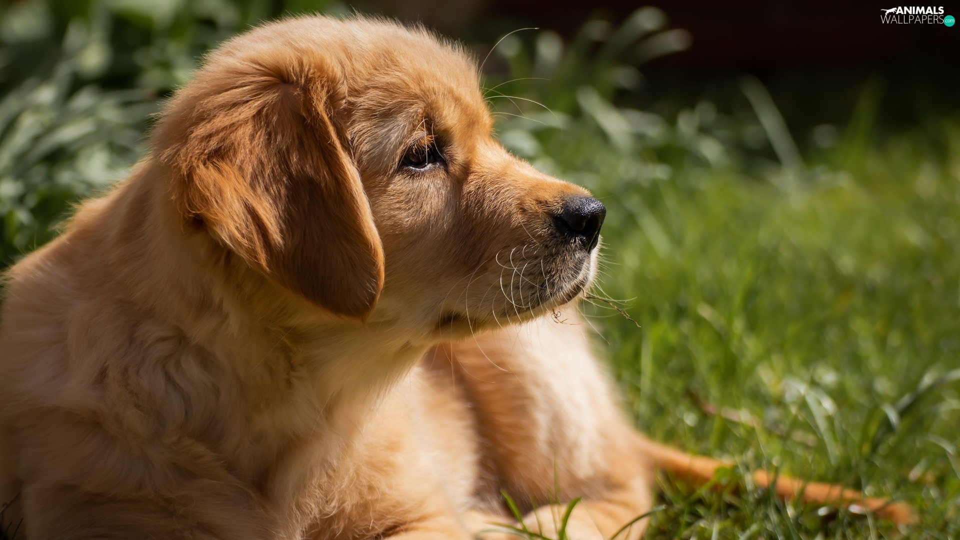 dog, Golden Retriever, profile, Puppy