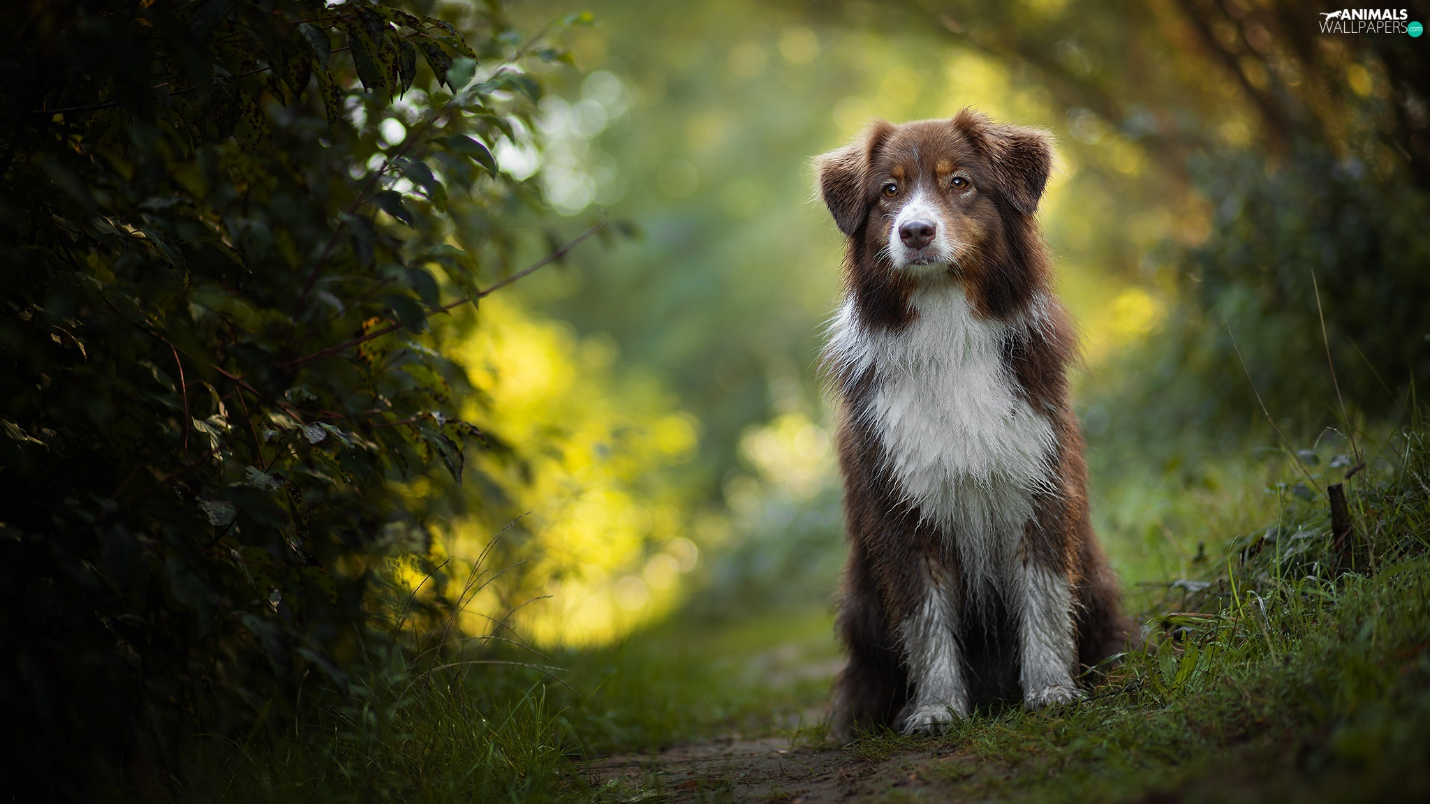 dog, grass, Bush, Australian Shepherd