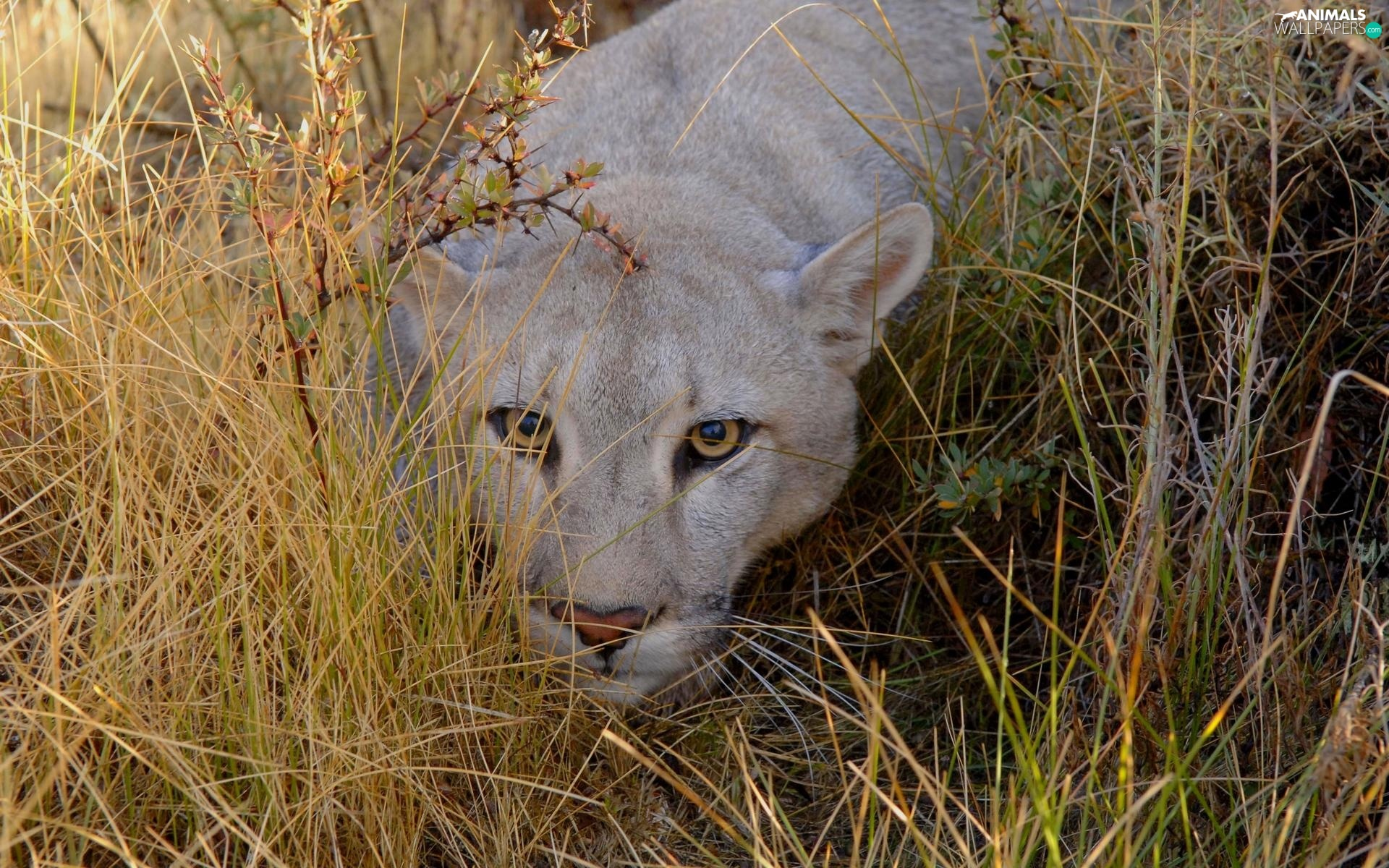 grass, lurking, cougar
