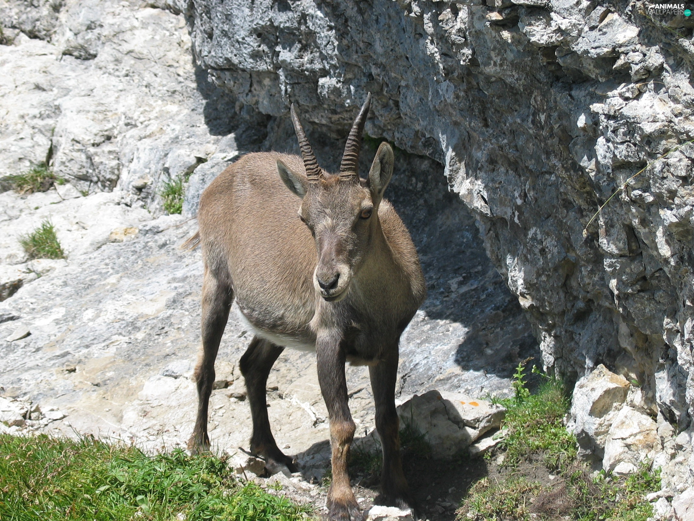 grass, ibex, Rocks