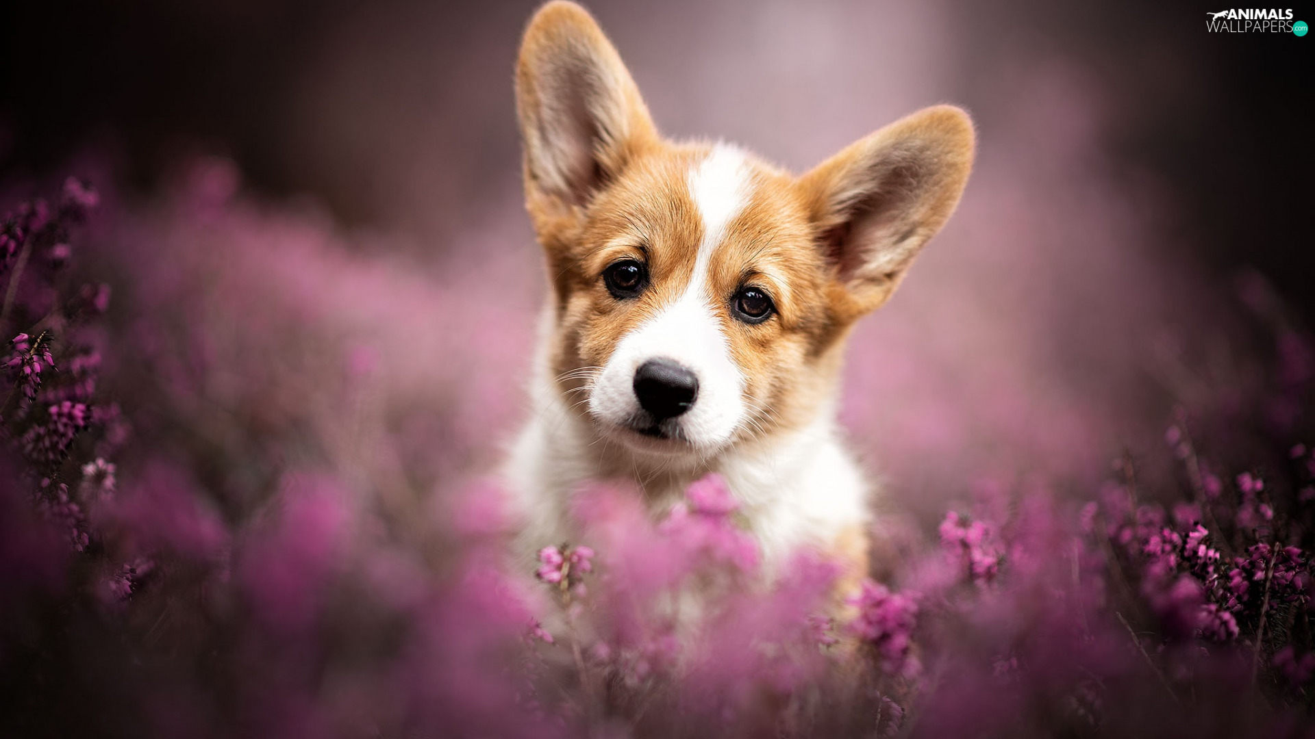 Puppy, heathers, The look, Welsh corgi pembroke