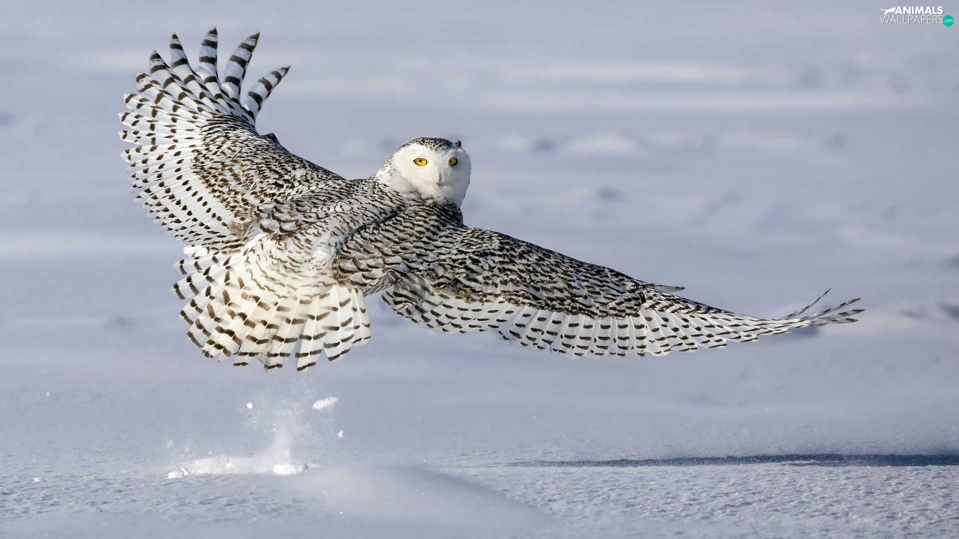 wings, snow, Snowy Owl, spread, Bird