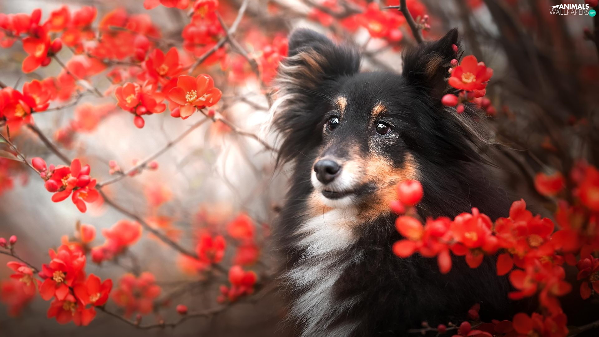 dog, Red, Flowers, shetland Sheepdog