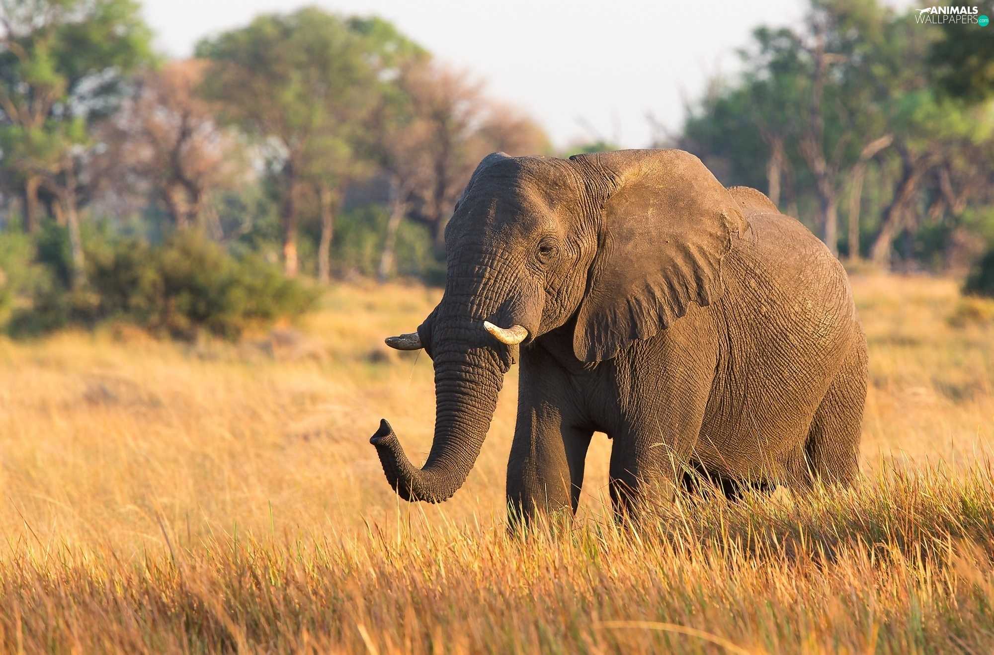savanna, Elephant, grass