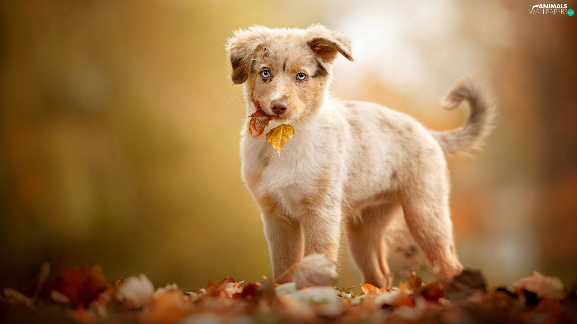 autumn, Leaf, Australian Shepherd, Puppy, dog
