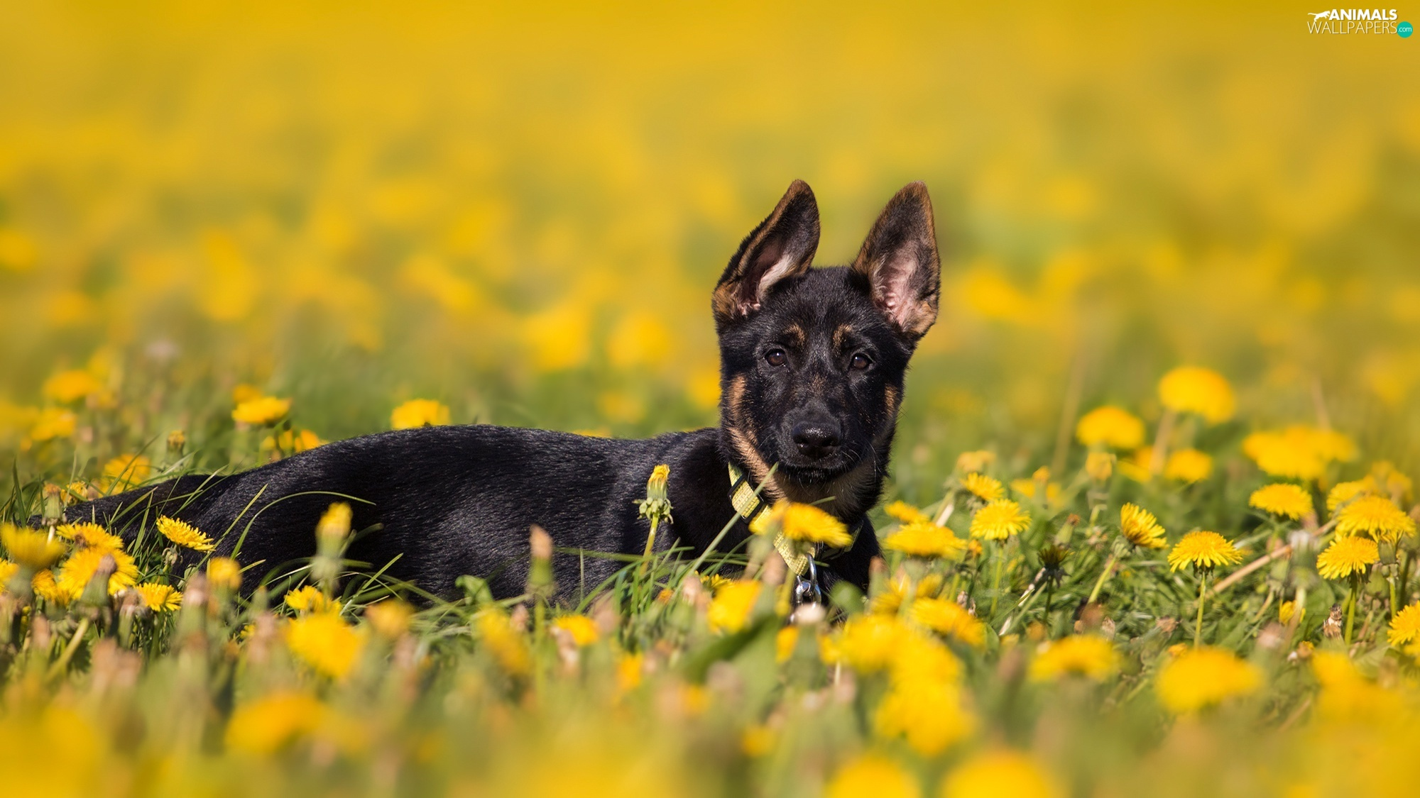 Meadow, Puppy, fuzzy, background, Common Dandelion, German Shepherd