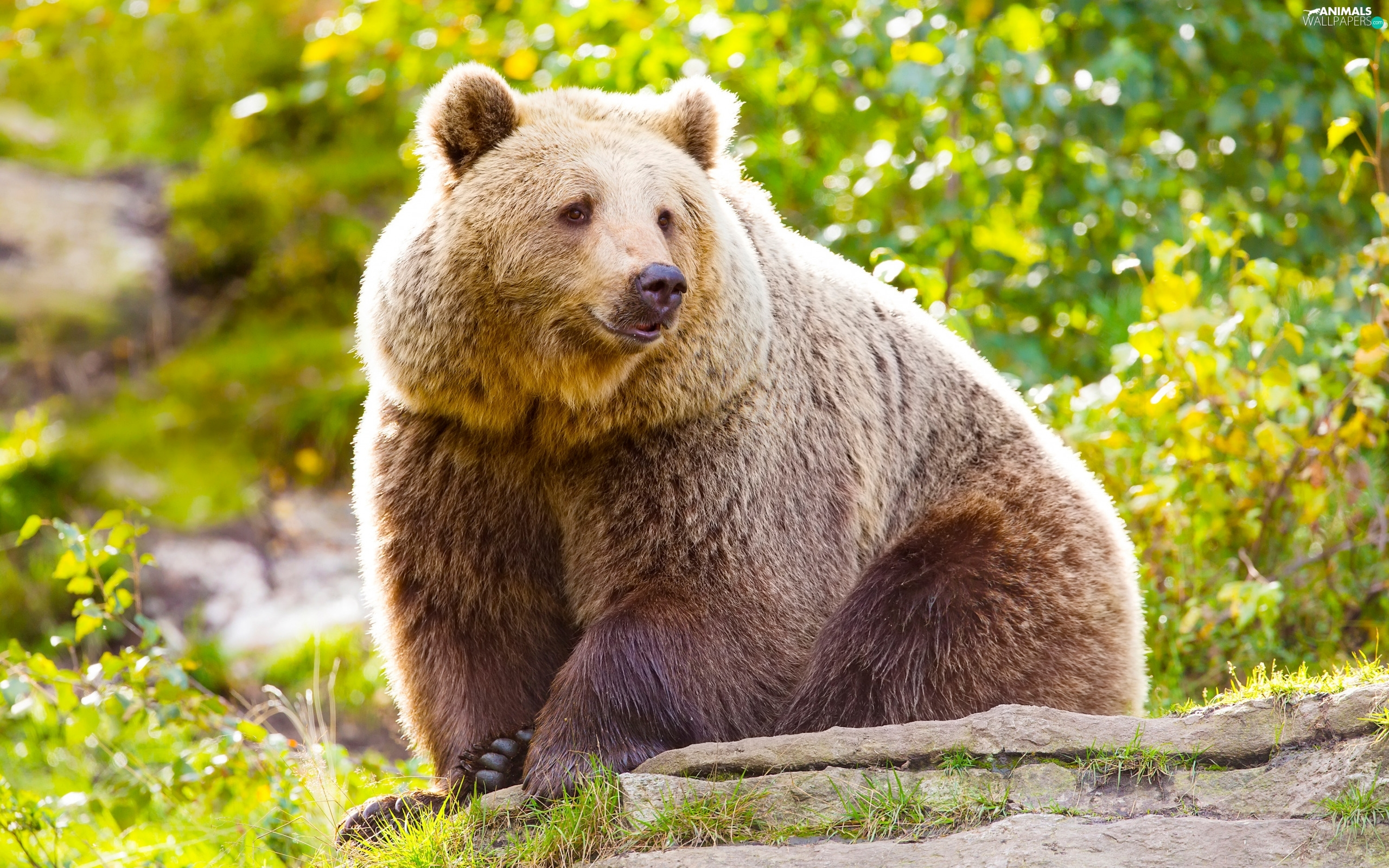 sitter, Brown bear