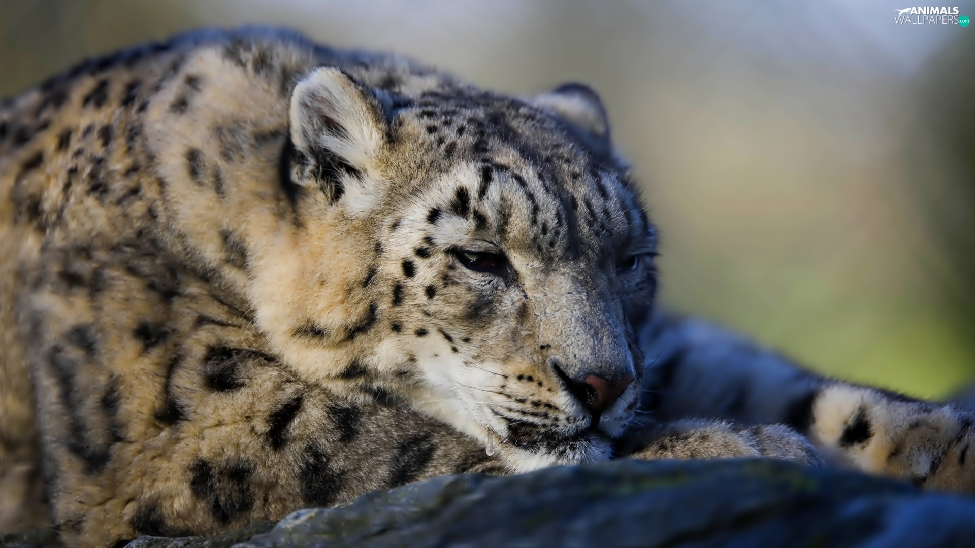 snow leopard, Leopards, snowy