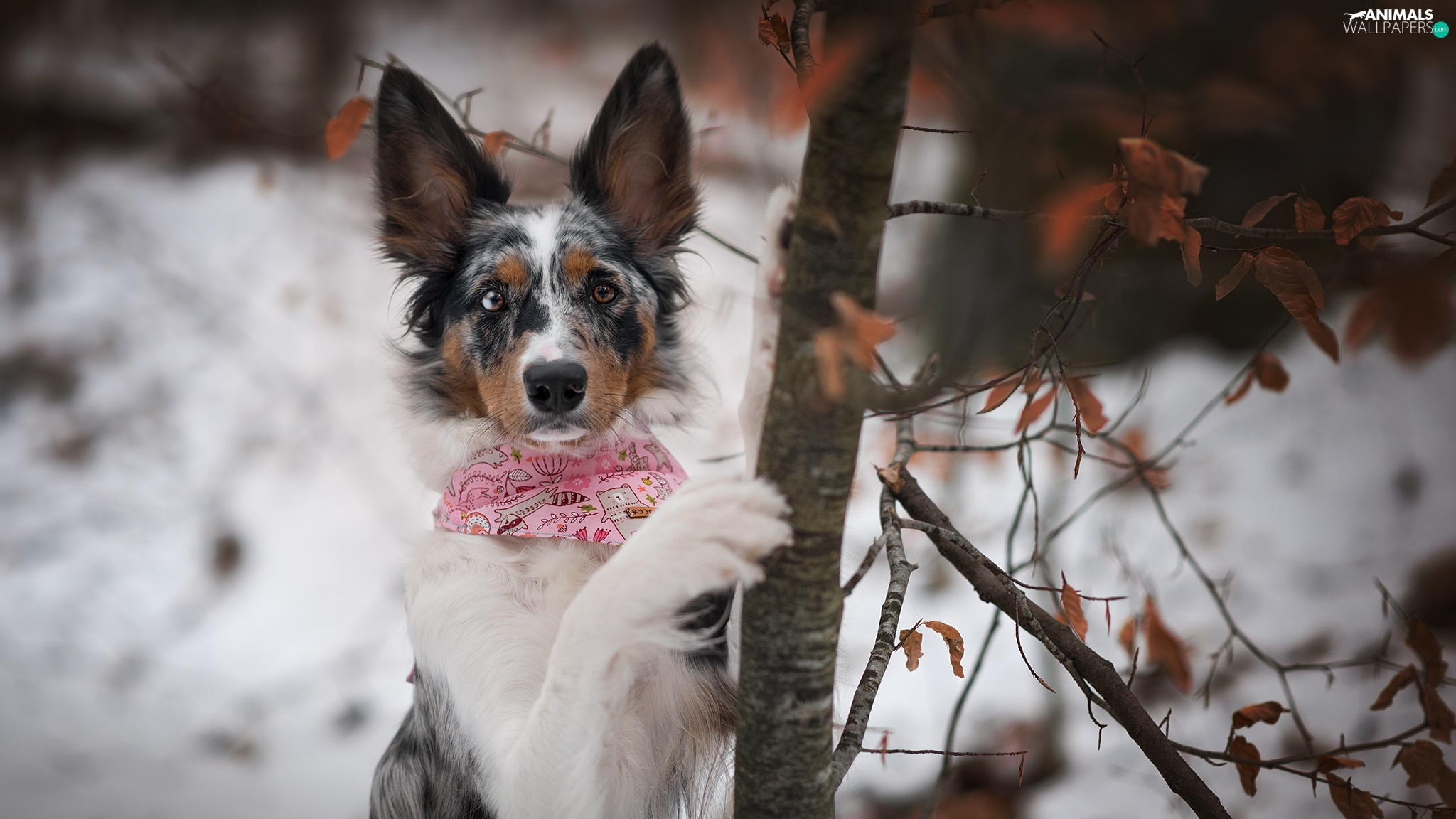 dog, trees, winter, Border Collie