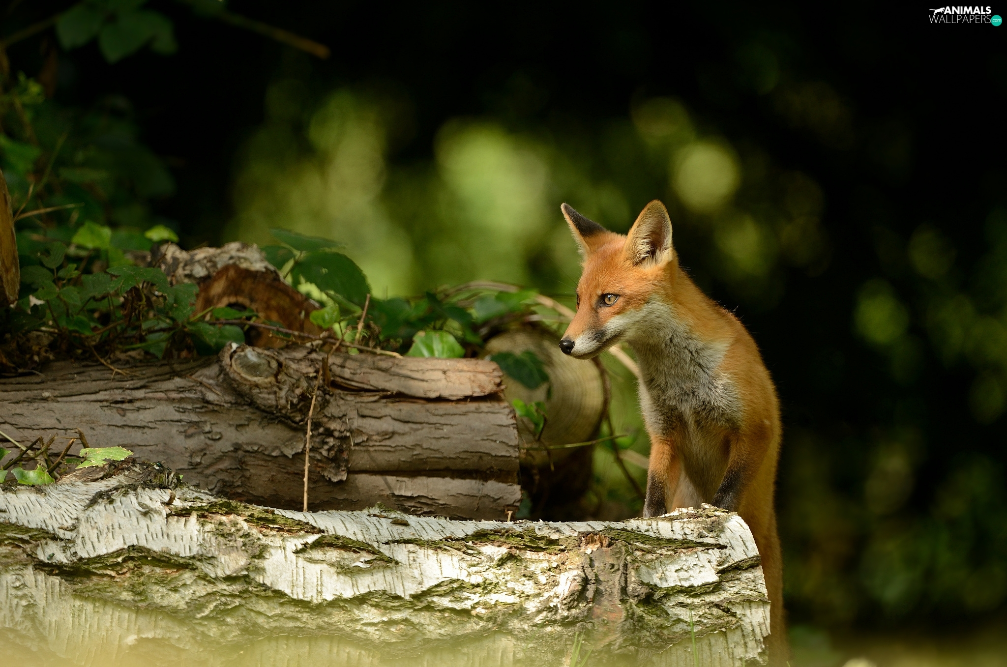 Fox, trees, viewes, Logs