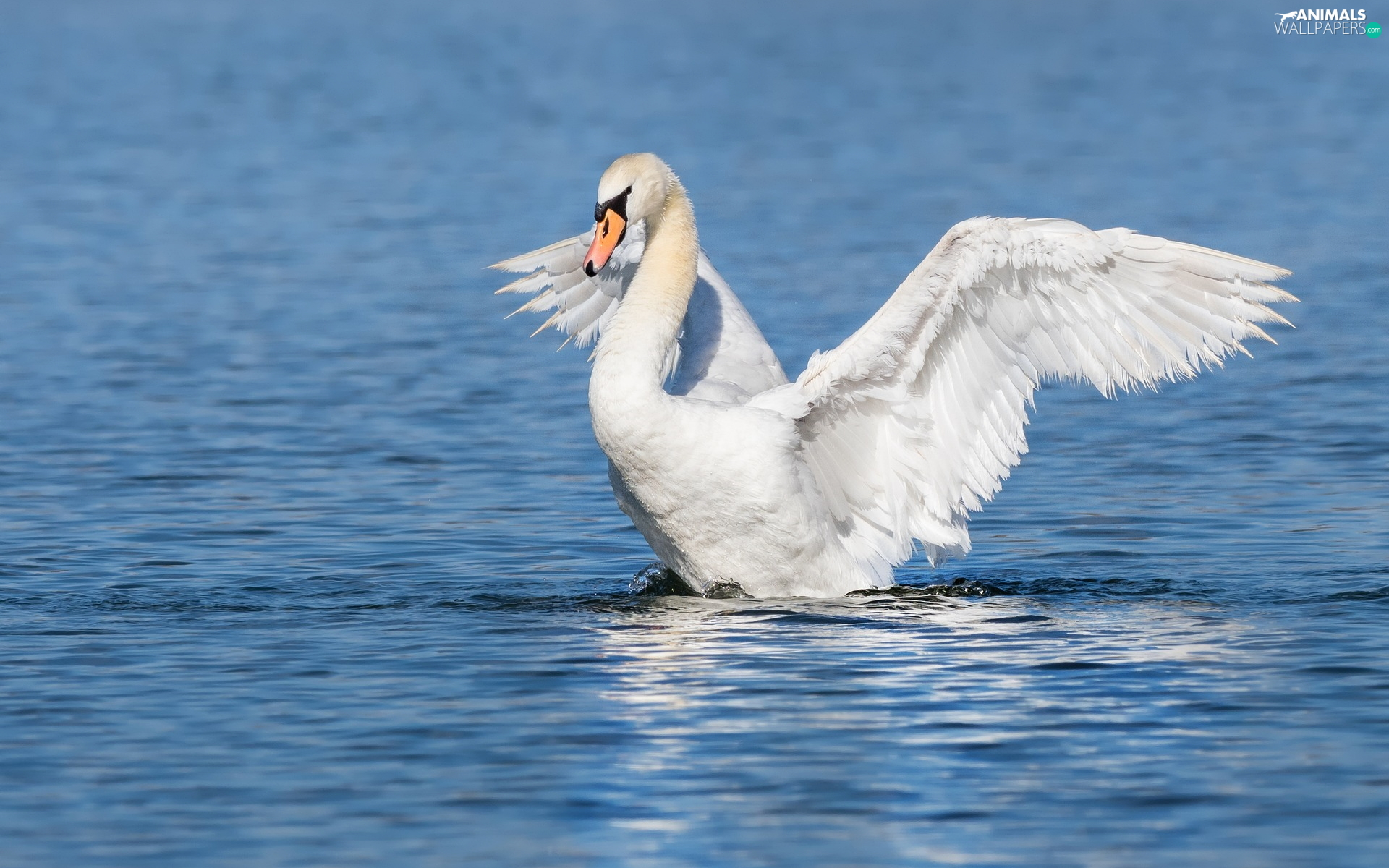 Swans, White, wings, water, spread, Bird