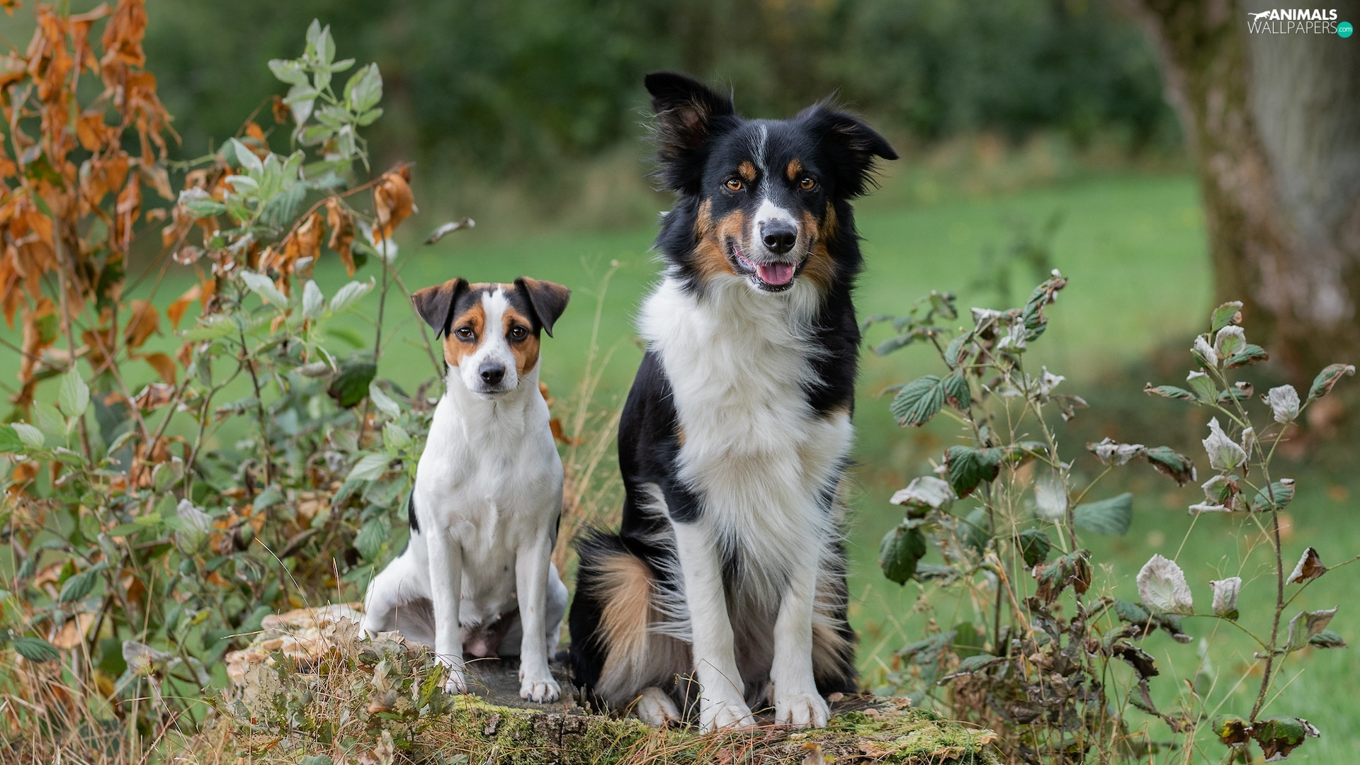 White-brown, Two cars, black and white, Border Collie, dog, Dogs