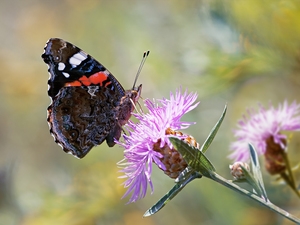fuzzy, background, Mermaid Admiral, Flowers, butterfly