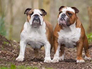 Bulldogs, Two cars, adult