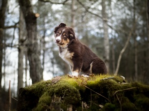 Australian Shepherd, The look, Bokeh, forest, Moss, Puppy, dog, scarp