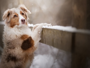 Fance, dog, Australian Shepherd
