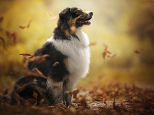 Leaf, dog, Australian Shepherd