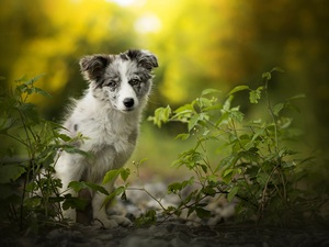 Plants, Puppy, Australian Shepherd