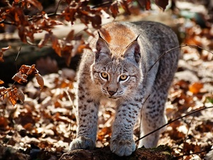 Lynx, Leaf, autumn, forest
