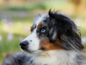 Australian Shepherd, blurry background