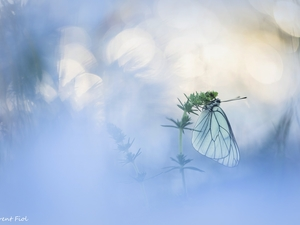 butterfly, plant, blurry background, Black-veined White