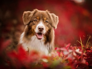 Australian Shepherd, fuzzy, background, Plants