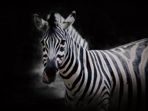 Zebra, Black, background, Head
