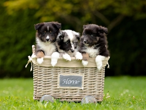 Three, Shetland Sheepdogs, basket, puppies