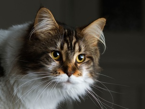 Maine Coon, cat, Beatyfull