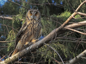 trees, branch pics, owl, Long-eared Owl, Bird