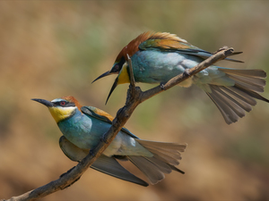 Two, birds, twig, Bee-eaters
