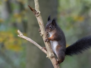 squirrel, tail, branch, Black