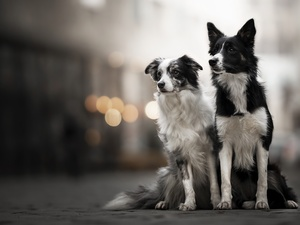 fuzzy, background, Dogs, Border Collie, Two cars