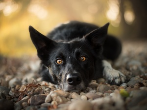 muzzle, Stones, dog, Border Collie, lying
