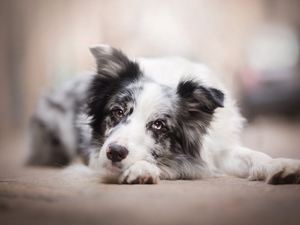 muzzle, dog, Border Collie
