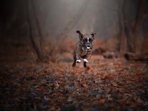 boxer, Leaf, running
