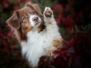 Brown and white, dog, The raised, pud, muzzle, Australian Shepherd
