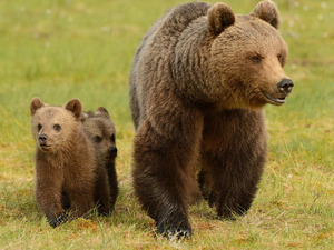 Brown Bears, Family