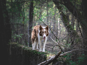 Brown and white, dog, viewes, ledge, trees, Border Collie