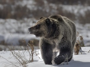 Brown bear, winter